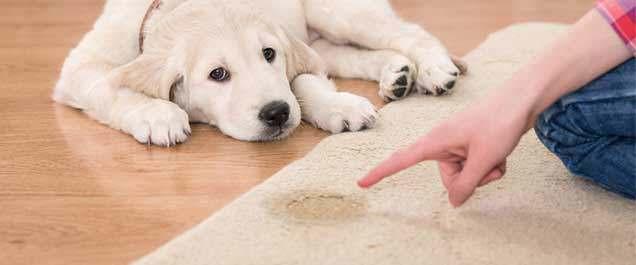 Carpet Urine stains